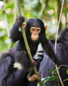Jungle Baby Animals Photo Set (Color): Original fine art photo set by Suzi Eszterhas: a baby orangutan swinging, a baby chimpanzee, and a baby gorilla.