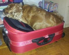 """Ira (english cocker spaniel): """"I'm ready for a trip"""" Such Wow, English Cocker Spaniel, Spaniels, Doge, Cavalier, Animals And Pets, Don't Forget, Best Friends, Old Things"""