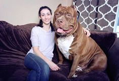 Page 1 of 3 At first glance, this giant pitbull will most likely scare you. Weighing or Hulk, is probably the largest pitbull in the world. A trained professional dog, Hulk is almost three times as big as a normal American pitbull. Hulk The Pitbull, Big Pitbull, Hulk The Dog, Huge Dogs, Giant Dogs, Perros Pit Bull, Worlds Largest Dog, Pitbulls, Big Dogs