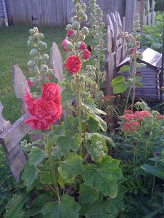 I remember us having hollyhocks in our flowers beds when I was growing up!!