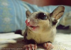 Cute Sugar Glider | pinned by shelley jeter