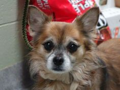 SAFE -- SUPER URGENT 11/13/13  Manhattan Center   JORGE - A0984825   MALE, BROWN / BLACK, CHIHUAHUA LH MIX, 8 yrs  STRAY - STRAY WAIT, NO HOLD Reason STRAY  Intake condition NONE Intake Date 11/13/2013, From NY 10459, DueOut Date 11/16/2013   https://www.facebook.com/Urgentdeathrowdogs/photos_albums#!/photo.php?fbid=708407349172147&set=pb.152876678058553.-2207520000.1384712162.&type=3&theater