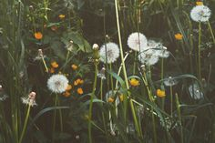 🌱🌿 Missing this Dandelion, Nature, Flowers, Plants, Photography, Naturaleza, Photograph, Dandelions, Fotografie
