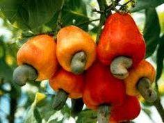 O caju é uma fruta de origem brasileira  produzida nos estados do Norte e Nordeste ~ Caju, Brazilian fruit.