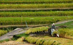 収穫の季節。中山千枚田の観光スポット。