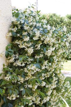 Rhynchospermum - Star Jasmine