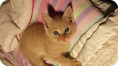 Media, PA - Domestic Mediumhair. Meet Cheerio, a kitten for adoption. http://www.adoptapet.com/pet/11698709-media-pennsylvania-kitten