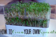 Sprouts are so easy to grow and a tasty addition to your garden fresh salads and meals. Here's how to grow your own sprouts...#getbusygardeninghttp://getbusygardening.com/how-to-grow-sprouts/?utm_content=buffer4a9e4&utm_medium=social&utm_source=pinterest.com&utm_campaign=buffer  Have you grown your own sprouts?