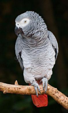 African Grey Parrot by Marc Scott-Parkin - Photo 165073197 / Parrot Cartoon, Parrot Pet, Parrot Bird, Parrot Craft, Parrot Drawing, Parrot Painting, African Lovebirds, Parrot Flying, Parrot Wallpaper