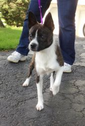 Buddie is an adoptable Chihuahua Dog in Coffeen, IL. Buddie is an 11 month old, 12 lb, Boston, Chihuhua and possibly Jack Russell Mix. We just are not sure, but he sure is spunky, with LOTS of energy....