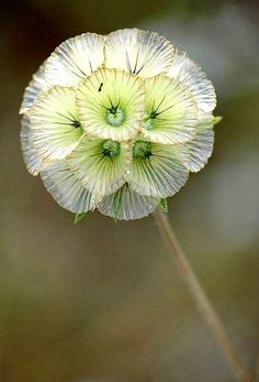 Star Scabiosa by Roger Bourne   Cool Places