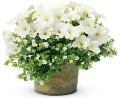 Do Pretty combination - White Supertunia petunias and Bacopa Sutera cordata (Snowstorm Giant Snowflake)Pretty combination - White Supertunia petunias and Bacopa Sutera cordata (Snowstorm Giant Snowflake) Container Flowers, Flower Planters, Container Plants, Container Gardening, Flower Pots, Outdoor Flowers, Outdoor Planters, Garden Planters, Garden Stairs