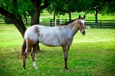 Dip n' Dots is a 4 year old Appaloosa Bay Roan Pony of America. He was born in 2008. Dip n' Dots is a big lover and absolutely loves hugs! He is a sweet, gentle, and kind horse; a perfect combination for our riders. He is one of the smartest horses in the barn and learns very quickly! -Equest in Texas