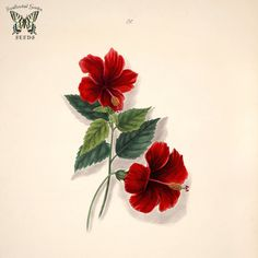 Brazilian flowers, drawn from nature in the years in the neighbourhood of Rio de Janeiro, t. by Norton, E. Love Flowers, Flowers Drawn, Hibiscus Rosa Sinensis, Chinese Flowers, Botanical Flowers, Garden Seeds, Name Cards, Flower Art, Illustrators