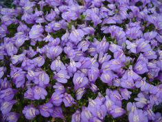 Mazus reptans 'Purple'.  Steppable