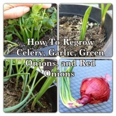 How to regrow celery, garlic, and green onions. Also includes a link on how to regrow sprouted red onions using the onion sets inside of them.