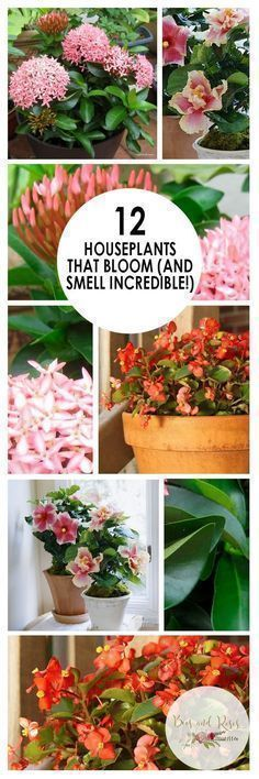 12 Houseplants That Bloom (And Smell Incredible!) | Houseplants That Bloom, Low Maintenance House Plants, Easy to Grow Houseplants, Pretty Houseplants, Indoor Gardening, Indoor Gardening Tips, Indoor Gardening Hacks #bloominghouseplants #indoorgardenapartment #indoorgardening