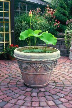 You Can Create a Lotus Container Garden Container Pond, Container Water Gardens, Container Gardening Vegetables, Container Flowers, Vegetable Gardening, Organic Gardening, Lotus Garden, Lotus Plant, Tropical Garden