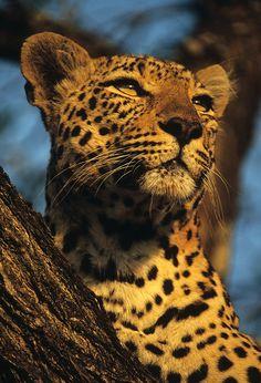 Leopard Portrait by Rudi Hulshof on 500px