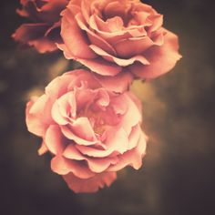 Roses (Vintage Flower Photography) Art Print by Andreka Photography | Society6