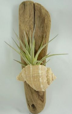 Seashell Projects, Driftwood Projects, Seashell Crafts, Beach Crafts, Driftwood Art, Home Crafts, Etsy Crafts, Air Plant Display, Plant Decor