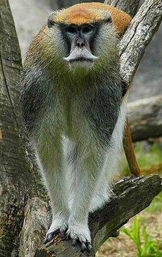 The Patas Monkey is related to guenons but are the only Old World monkey that has adapted to it's new environs by staying out of trees and running on the ground in the grasslands and semi-desert regions from west to east Africa.