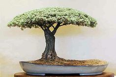 Growing bonsai from their seeds is essentially growing a tree from its seed. Get tips and guidelines on how to grow your first bonsai from its seed phase. Bonsai Acer, Bonsai Plants, Bonsai Garden, Garden Trees, Air Plants, Cactus Plants, Ikebana, Plantas Bonsai, Mini Plantas