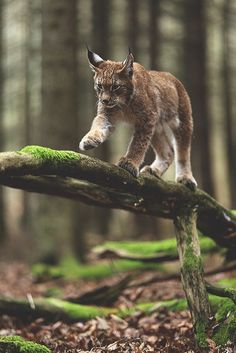 Bob Cats Lovely lynx out in the beautiful old forest as it should be! Such beautiful cats, lynx. Forest Animals, Nature Animals, Animals And Pets, Cute Animals, Wild Animals, Exotic Animals, Baby Animals, Beautiful Cats, Animals Beautiful