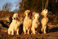golden beauties