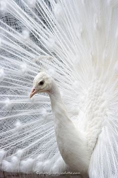 Stunning... White peacock