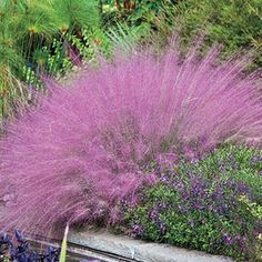 PINK MUHLY GRASS is something new to me.  I do have other grasses; but, nothing with color this bright.  It is said to grow 3 ft. in height with a spread of 2 ft. and is deer resistant. Clouds of wispy pink muhly grass could truly brighten a garden!