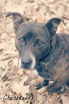 CHEROKEE....FOUND IN YOUNGSTOWN, OHIO....Available on:Cherokee (ID #262) is a sweet but very timid female cattle dog/pit mix found as a stray. She is a very small dog and takes treats very gently and walks very gently on a leash. If not claimed by her owner, Cherokee will be available for...