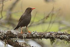 mis fotos de aves: Turdus chiguanco Zorzal chiguanco Chiguanco thrush...