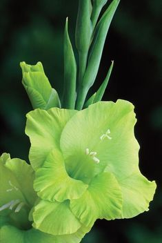 "Gladiolus 'Green Star' - There are SO many things that can be done with gladiola blossoms including gorgeous composite ""glamelia"" flowers, which are excellent used in corsages and bouquets. Green Flowers, Pretty Flowers, Green Colors, Amazing Flowers, Shades Of Green, Planting Flowers, Orchids, Wedding Flowers, Birth Flowers"