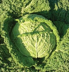 Cabbage Famosa D313 (Green) 25 Organic Hybrid Seeds by Da... http://www.amazon.com/dp/B00NG03986/ref=cm_sw_r_pi_dp_MhUgxb0NBJ2K8
