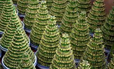 Flori care cresc fara pamant. Frumuseti fara pic de murdarie Chinese New Year Holiday, Happy Chinese New Year, Lucky Bamboo, Bamboo Tree, View Image, Wisteria, Cactus Plants, Free Stock Photos, Succulents