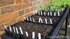 The Rootrainers Racking Station raises the Sweet Pea plants up, which makes them easier to tend. Sweet Pea Plant, Growing Sweet Peas, Sweet Pea Seeds, Sweet Pea Flowers, Plant Labels, Different Plants, Propagation, Flower Seeds, Trials