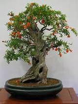 Pomegranate Bonsai Trees