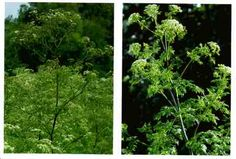 Poison hemlock, fool's parsley: Herb grows to 2.5 meters.Purple or red striped smooth hollow stem,white flowers in small groups. Long turniplike taproot is solid. *CAUTION* Very poisonous, causes DEATH!Don't confuse with wild carrot or Queen Anne's Lace which has hairy leaves & stems & smells like carrot;Poison hemlock does not.Grows in wet,moist ground like swamps, wet meadows, stream banks. Native to Eurasia, but in U.S. & Canada. Poisonous Plants, Wilderness Survival, Small Groups, Parsley, White Flowers, Herbs, How To Get, Pictures, Photos
