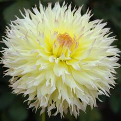 """Citron de Cap, 7"""" blooms, delicate yellow with a dusting of rose blush over the petal tips-From Swan Island Dahlias"""