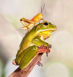 """Résultat de recherche d'images pour """"grenouille suspendue"""""""