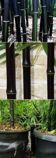 black bamboo phyllostachys nigra craddock pinterest tr d v xter och blommor. Black Bedroom Furniture Sets. Home Design Ideas