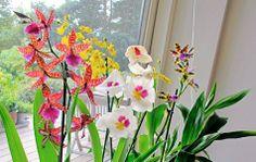 Orkideer er blevet populære, og det er jo til at forstå, når man tænker på den mangfoldighed familien byder på.