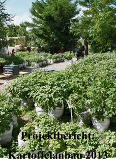 Neu im Gartenblog: Projektbericht 2013 - Kartoffelanbau im Prinzessinnengarten