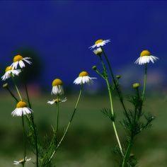 daisies!!!!!!!!!