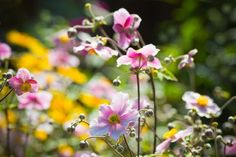 Japanese Anemones, Windflowers, Anemone tomentosa, Grapeleaf Anemones, Anemone x Hybrida, fall flowers, Fall perennials, white flowers, pink flowers