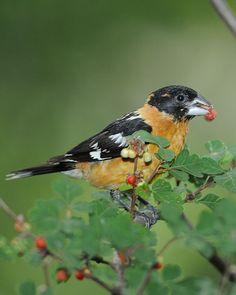 Black-headed Grosbeak - La Pine, OR backyard visitor