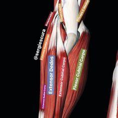 Arteries Anatomy, Message Therapy, Massage Logo, Aesthetics Bodybuilding, Flat Tummy Workout, Medicine Book, Medical Anatomy, Human Anatomy And Physiology, Muscle Anatomy