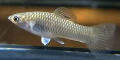 Grand Cayman limia | aquarium fish Grand Cayman Limia Limia caymanensis ...
