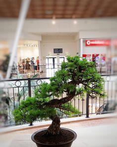 """Mi piace"": 27, commenti: 1 - L'ABC del Verde (@abcdelverde) su Instagram: ""Larix decidua Larice #labcdelverde #bonsai #bonsaiworld"""